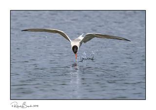 Tern dipping