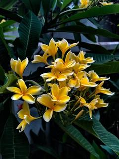 Frangipani bloom in Tiong Bahru