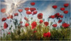 Dreamy Poppies (PhotoArt Images) Tags: poppies tallpoppies photoartimages tuscany sunrays sunshine italy summer