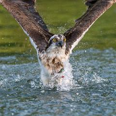 Awesome Osprey (Artisanart) Tags: osprey nature wildlife horn mill trout farm water splash fish prey