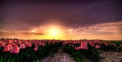 Dark Sunset. (Alex-de-Haas) Tags: 11mm adobe blackstone d850 dutch hdr holland irix irix11mm irixblackstone lightroom nederland nederlands netherlands nikon nikond850 noordholland photomatix beautiful beauty bloem bloemen bloementeelt bloemenvelden cirrus floriculture flower flowerfields flowers landscape landschaft landschap lente lucht mooi polder skies sky spring sun sundown sunset tulip tulips tulp tulpen zonsondergang