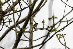 20180602-0I7A6021 (siddharthx) Tags: 7dmkii ananthagiri ananthagiriforest ananthagiriforestrange bird birdwatching birding birdsinthewild birdsofindia birdsoftelangana canon canon7dmkii cottoncarrierg3 ef100400f4556isii ef100400mmf4556lisiiusm forest goldenhour jungle landscape monsoon muddy nature rain rains telangana tree trees vikarabad wet wild wildbirds wildlife longtailedshrike shrike baybackedshrike rufousbackedshrike burgupalle india in