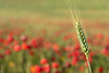 En vano la timidez o la prisa... (Alicia Clerencia) Tags: amapola poppy countryside campo lanscape paisaje primavera spring rojo red verde green trigo wheat