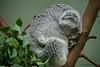 Sleepy (DirkVandeVelde back in July) Tags: europa europ europe belgie belgium belgica belgique buiten biologie antwerpen anvers antwerp animalia animal mammalia mechelen malines malinas muizen zoo zoogdieren koala planckendael park sony fauna