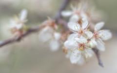 Bradford Pear (Anne Worner) Tags: anneworner bradfordpear d7000 lensbaby nikon velvet56 anthers bloom blossom blur boken branch closeup fauna flora flower flowering macro petals shallowdof white