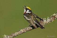 Chestnut-sided Warbler in song (Earl Reinink) Tags: bird animal songbird warbler branch tree spring nature wildelife outdoors earl reinink earlreinink tzudzdrdza