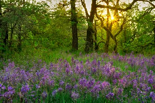 Camas Lily Field Sunrise 8635 C