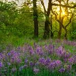 Camas Lily Field Sunrise 8635 C thumbnail