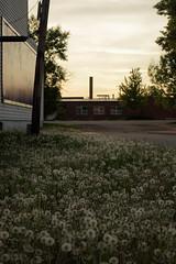 Dandelion field (danielhast) Tags: madison wisconsin sunset plant dandelion seeds sky