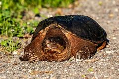 Snapping Turtle (mayekarulhas) Tags: philadelphia pennsylvania unitedstates us turtle canon canon500mm canon1dxmark2 johnheinznaturereserve wildlife wild