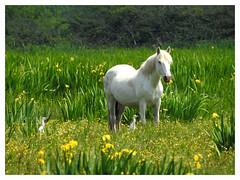 Camargue Horse & 2 Bubulcus ibis (M.L Photographie) Tags: cheval horse animal animals champ field flowers birds oiseaux p900 coolpix nikon france normandie normandy fleurs