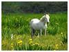 Camargue Horse & 2 Bubulcus ibis (Vulpe Photographie) Tags: cheval horse animal animals champ field flowers birds oiseaux p900 coolpix nikon france normandie normandy fleurs