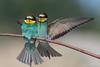 Love.... (Ciminus) Tags: europeanbeeeater naturesubjects aves ornitologia nikond500 ciminus birds ciminodelbufalo gruccione uccelli gruccioni nikon oiseaux wildlife meropsapiaster afsnikkor500mmf4gedvr ornitology nature coth coth5 specanimalphotooftheday