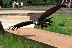 Condor zoo1 (Ansanber) Tags: 1585mm condor zoo