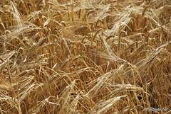 Пшениця, жито, овес InterNetri  Ukraine 026