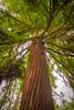 Redwood Grove (Jimmy Allen) Tags: kew gardens london redwood grove trees