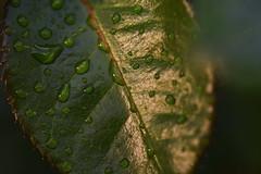 DSC_0113 Raindrops (PeaTJay) Tags: nikond750 sigma reading lowerearley berkshire macro micro closeups gardens outdoors nature flora fauna plants flowers rose roses rosebuds raindrops leaves foliage