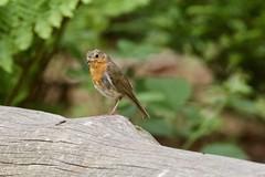 Robin redbreast (georgehart64) Tags: bokeh fauna tree zoomlens canon70d canon smallbird bird ef100400mmf4556lisiiusm red redbreast robin scotland aberdeen westhill carniewoods