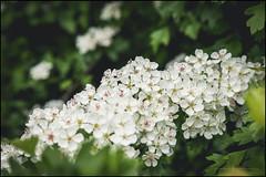 Hawthorn blossom (G. Postlethwaite esq.) Tags: dof derbyshire uk blossom bokeh depthoffield flowermayflower foliage hawthorn leaves photoborder plant selectivefocus spring trees