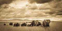 The Cozy Elephants (karsten.schtz) Tags: landschaft wieseacker afrika elefant tier herde tiere wildlife urlaub nature safari säugetier reisen bergehügel kenia wolken masaimara landscape gras africa elephant animal herd vacation holiday travel mammal hills cloude kenya lumix g5 sky panasonic