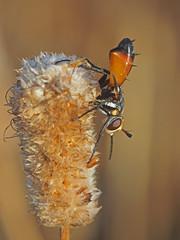 Cylindromyia sp (diegocon1964) Tags: diptera brachycera tachinidae phasiinae cylindromyia