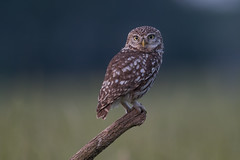 R18_2961 (ronald groenendijk) Tags: cronaldgroenendijk 2018 athenenoctua littleowl rgflickrrg animal bird birds copyrightronaldgroenendijk europe groenendijk holland nature natuur natuurfotografie netherlands outdoor owl ronaldgroenendijk steenuil uil vogel vogels wildlife