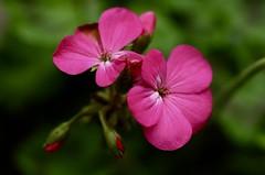 Geranium Flowers (Diane Marshman) Tags: geranium flowers blooms blossoms pink garden annual plant spring summer blooming macro closeup small