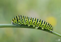 Oruga de Macaon (JoseQ.) Tags: macro macrofotografia oruga macaon insecto bicho animal colores verdes rayas primavera olympus rama flor campo airelibre gusano