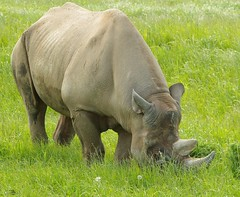 Black Rhino  (21) (Simon Dell Photography) Tags: black rare yorkshire wildlife park doncaster uk england spring day images high res animals zoo captive wild life simon dell photography tog 2018 may sunny rhino rhinoceros grass meadow field valley close up
