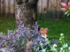 HIDING ... :-D (Tricia in Kent UK ....☺) Tags: hiding foxy fox sage valerian garden maidstonekentuk outdoors