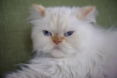 She will just take a little nap (koolandgang) Tags: misket misscat mioumiou cat kedi redpointhimalayan persian irankedisi chillin indoor nikond700 nikon105vrmicro