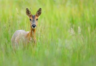 Roe deer in summer meadow