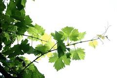 Verts de pluie (Tonton Gilles) Tags: vert vigne blanc goutte deau eau branche graphisme