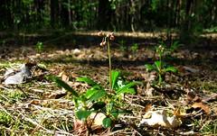 IMG_7625 (ALEKSANDR RYBAK) Tags: цветочки мелкие простые лес лето природа крупный план свет тень