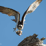 Osprey on the run with its catch thumbnail