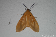 Asota egens (GeeC) Tags: aganainae animalia arthropoda asota asotaegens butterfliesmoths cambodia erebidae insecta kohkongprovince lepidoptera nature noctuoidea tatai