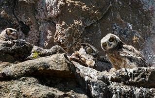 Great Horned Owls - Estes Park