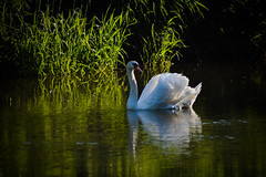 Swan (PinoyFri) Tags: swan schwan zwaan cisne elcosboroba 天鵝 sisne cygne ברבור angsa cigno 白鳥 백조 хун chimthiênnga donau danubio upperdanubevalley reflexion sunlight waterfowl spiegelung natur kalikasan naturaleza duna reflection réflexion reflexão 反射 riflessione