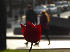 Enjoy late afternoon (m_artijn) Tags: bergen norway tulip couple sun backlit controluce afternoon stone bla