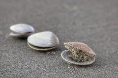Whole grain diet (Gunn Shots.) Tags: uretitibeach newzealand seashells sand clam