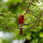 Red Cardinal in Green Trees thumbnail