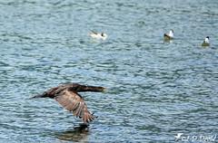 Je ne fais que passer ! :-) (Jean-Daniel David) Tags: oiseau oiseaudeau lac lacdeneuchâtel réservenaturelle reflet cormoran mouette eau volatile vol envol noir yverdonlesbains suisse suisseromande vaud