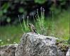 Chardonneret élégant (arno18☮) Tags: chardonneret élégant pierre