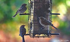 Three Little Birds (Sage Girl Photography) Tags: birds feeder seed backyard screen wilmington sagegirl nikond3300 winter december chippingsparrow wild outdoor nature bokeh colorful