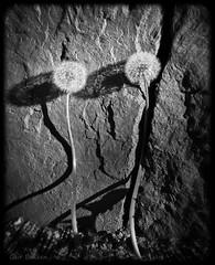 Dandelions (Geir Bakken) Tags: flower m43 mirrorless mft microfourthirds mitakon25mmf095 blackandwhite beautiful artisitc perfectbeauty