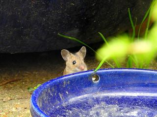 Mouse, garden, Jun 14 2018 (3)