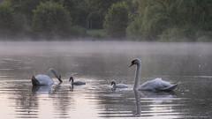 morning dew (aantwaarpe) Tags: blauw muteswans swan dew dauw zwaan antwerp rivierenhof bomen boom park bos forest