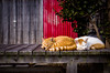thrivers on islands #129 (Aoshima Island, Ehime) (Marser) Tags: ricohgr gr grd raw lightroom japan ehime island cat bench sleep 愛媛 青島 猫 貓