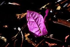 Shine. (roanfourie) Tags: nikon d3400 nikkor 70300mm ed dx afp vr f63 dslr flickr flick southafrica africa randfontein photography raw gimp day outdoors nature naturephotography floraofsouthafrica art macro plant plants flower flowers june102018 june 2018 winter coldmonths purple violet