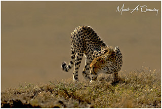Cheetah decoding Scent Marking!